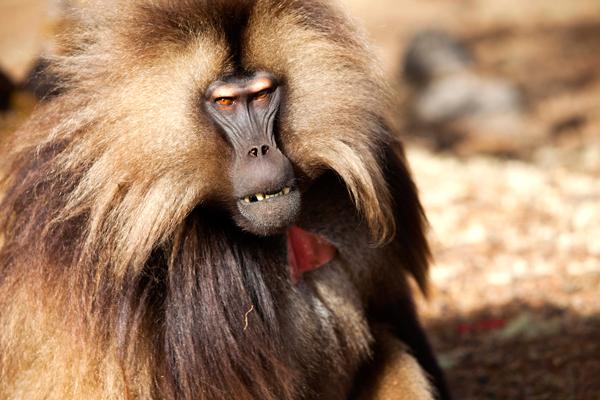 Las montañas Simien, en casa de los babuinos gelada
